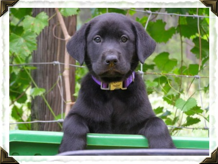 Labrador Retriever Puppies For Sale In Georgia